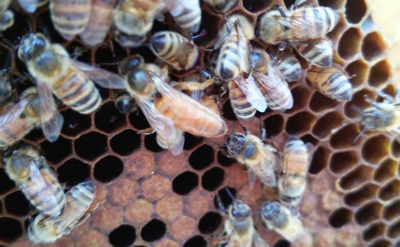 女王蜂健在