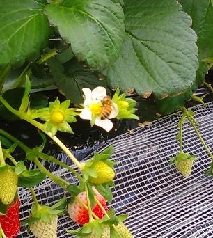 ひだまりのミツバチ