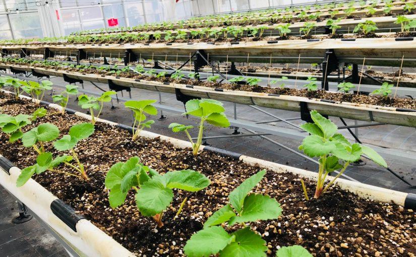 苺の苗、苺栽培、完熟いちご、自社栽培