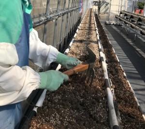 定植、苺栽培、完熟いちご