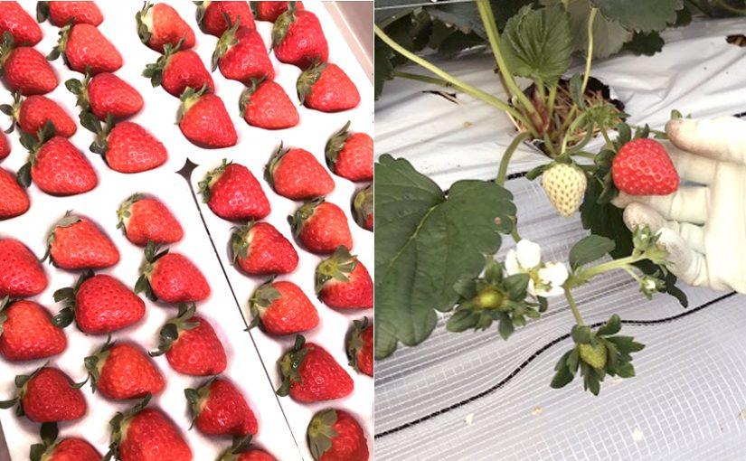 【週刊いちご畑から】完熟いちごの収穫、順調です!