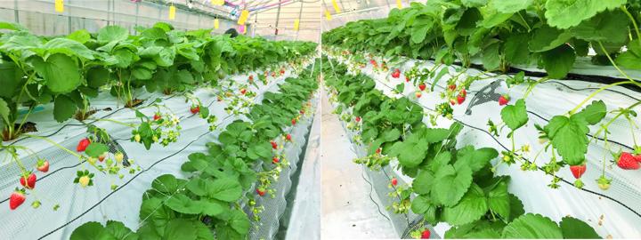 いちご畑,完熟いちご,自社栽培