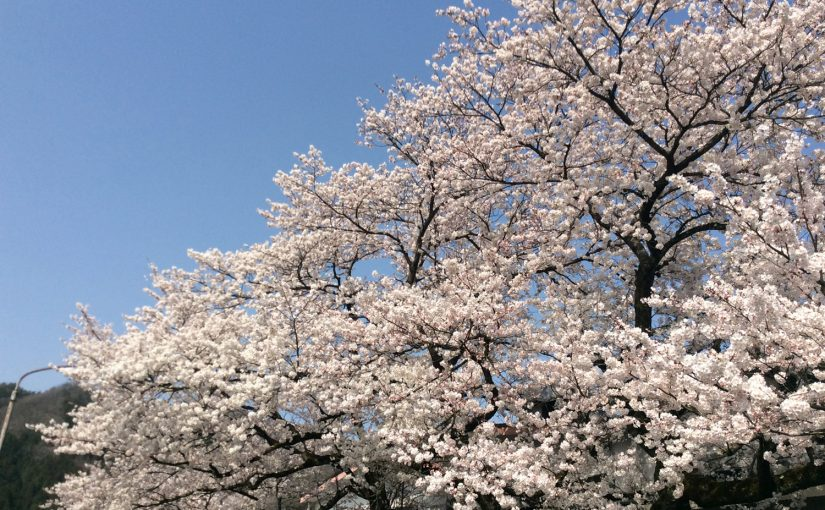 完熟いちご菓子研究所,満開の桜