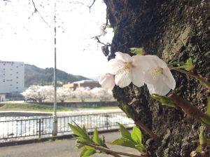 完熟いちご菓子研究所,お花見,桜