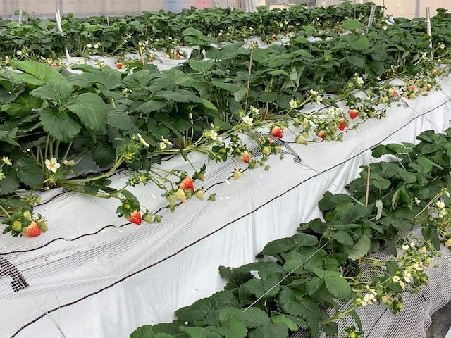 【いちご畑から】苺とミツバチ